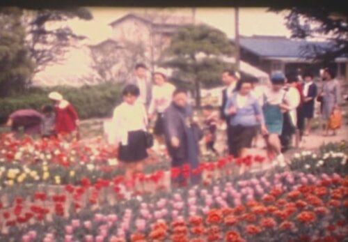 昭和50年 養種園展示販売会  チューリップ・バラ祭り 宮城県仙台市若林区